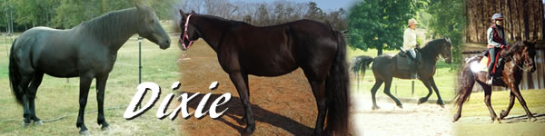 Horse for sale Dixie