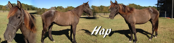 Horse for sale Hap
