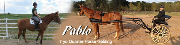 Horse for sale Pablo